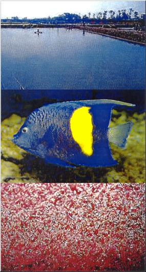 BLUE MOON ANGELFISH