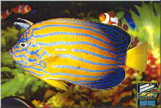 Blue-Stripe Angelfish