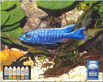 Electric blue Ahli cichlid