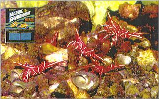 Camel Shrimp