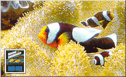 Brown saddle clownfish